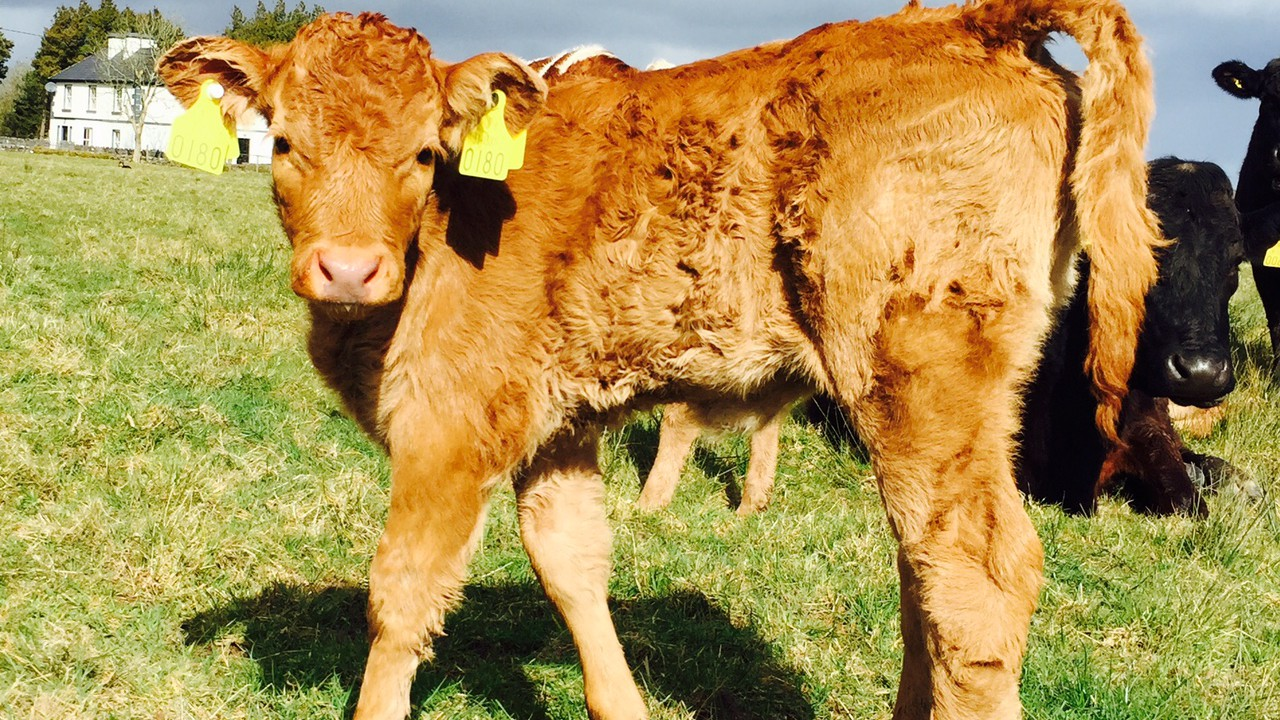 How to control parasites at grass for beef suckler herds