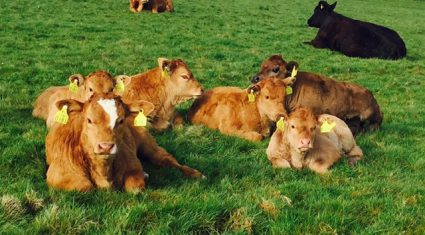 Over 1,000 farmers a day applying for new beef genomics scheme