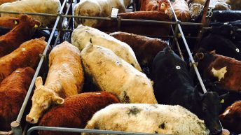 Mart report: Forward-cattle still in demand in the lead up to Christmas