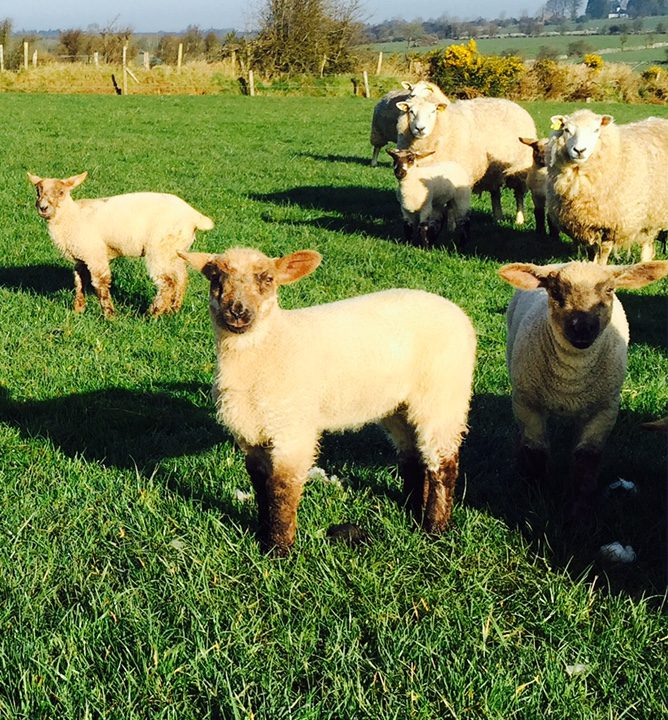 Lambs reach slaughter weight 25 days earlier on UCD's multi-species sward trial