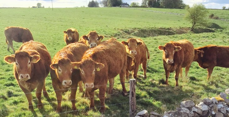 Irish and UK heifer price gap narrows to under 1c/kg – European Commission