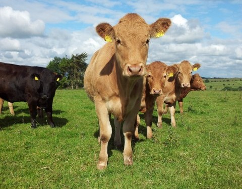 How to economically achieve a 365-day calving interval for suckler cows – Teagasc