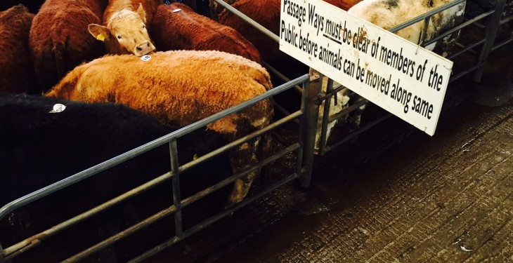 Concerns in the UK about where cattle prices are going