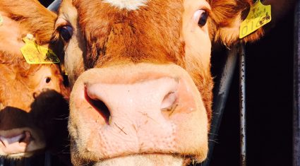 Cows can't talk, but they communicate with us every day