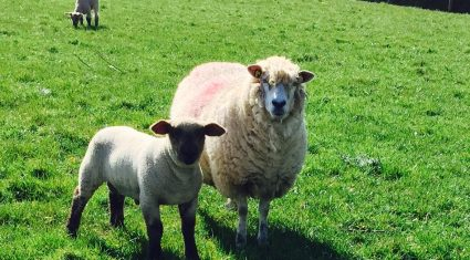 High lamb supplies set to continue in the UK