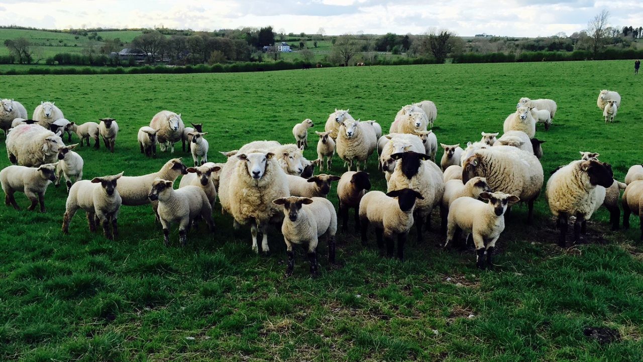 France has imported less of our sheep meat this year
