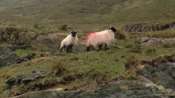 €30m sheep package sought by INHFA