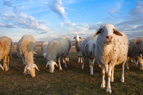 New Zealand sheep flock at its lowest level in 70 years