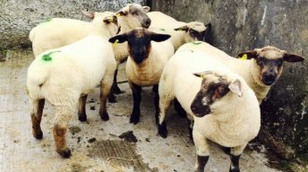 Worm dosing on sheep farms only effective half the time