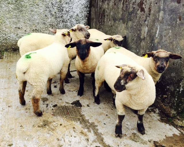'Lamb trade stronger this week'