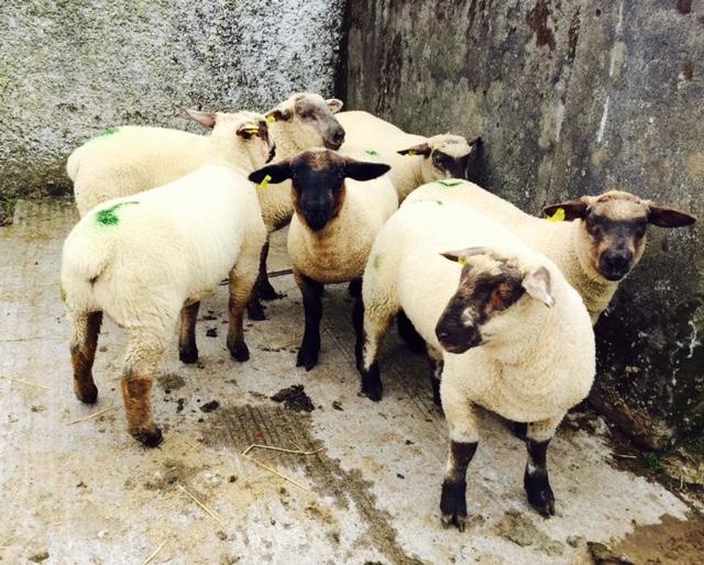 Regulations hampering live exports of Irish sheep