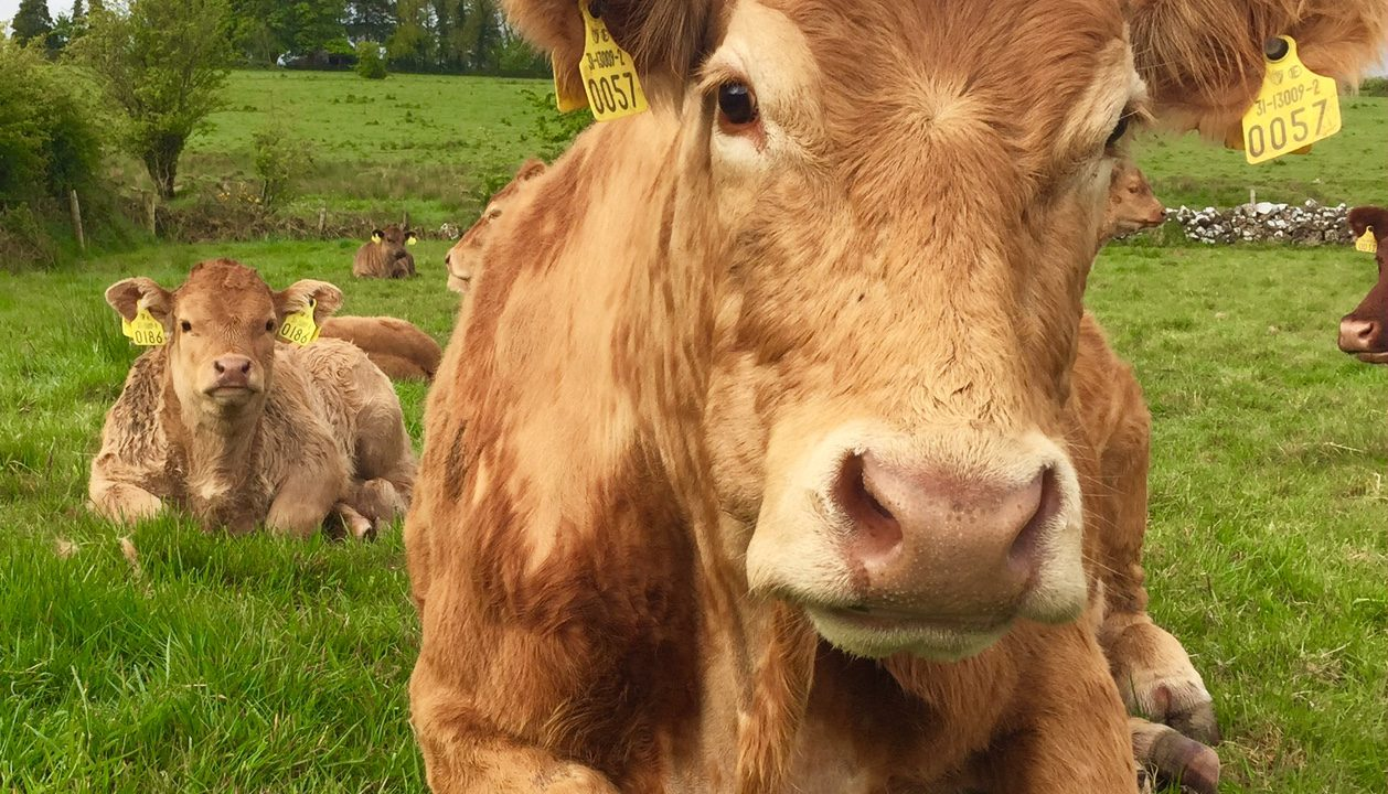 Keep an eye out for grass tetany with cooler night temperatures