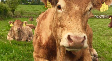 12,600 farmers sign up for new suckler scheme (before Friday's deadline)
