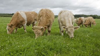 Prime cattle supplies tighten in Northern Ireland