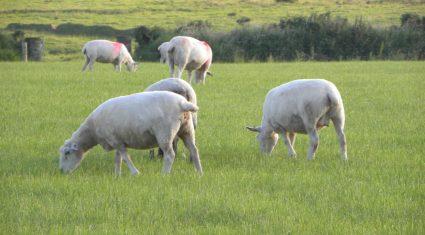 Dip in lamb prices and Ramadan drive UK lamb throughput