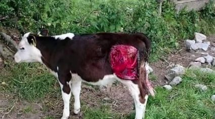 'Vicious' dog attack on calf in Tipperary