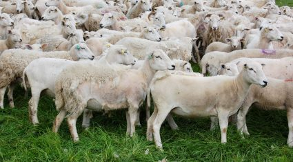 Producing wool is 'too expensive' so farmer turns to Easycare sheep