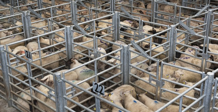 Irish sheepmeat exports to UK up 7% on October 2014