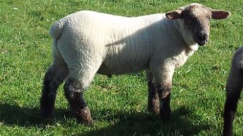 First of the 2016 born lambs coming on stream – Spring lamb prices at €6.40/kg