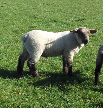 Notice a slowdown in lamb growth rates? It's due to grass quality