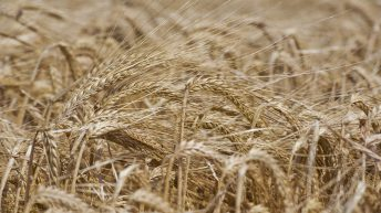 Promising start to barley harvest in the UK