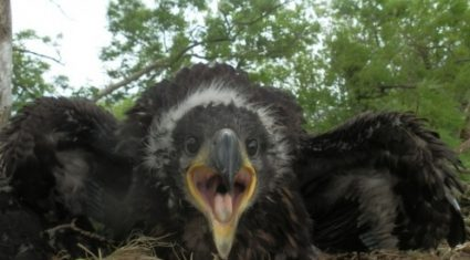 White-tailed eagles successfully hatch chicks across the country