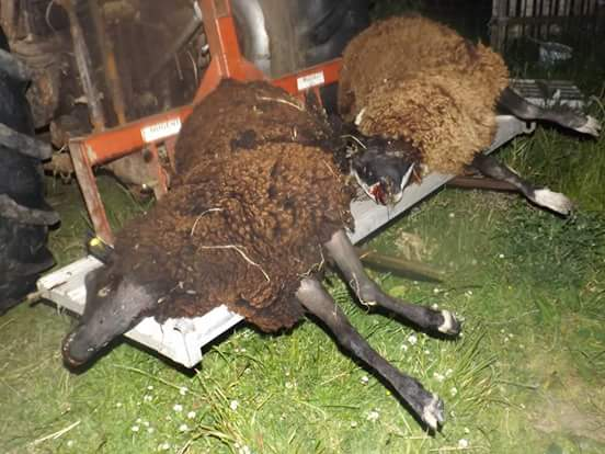 Warning graphic pics: Eight pedigree sheep killed in dog attack in Cork