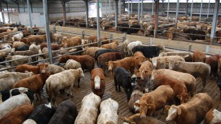 Beef trade: All quotes hold firm despite talk of dropping cow prices