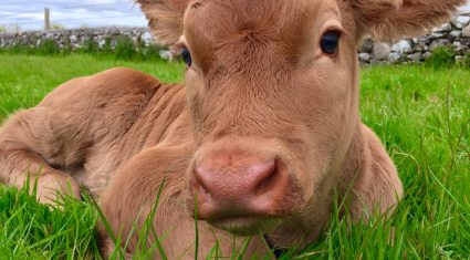 Beef calf births 2% higher this year