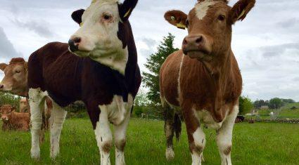 Irish live cattle exports under threat over IBR status