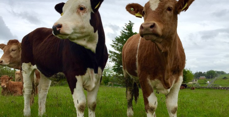 Irish live cattle exports under threat over IBR status