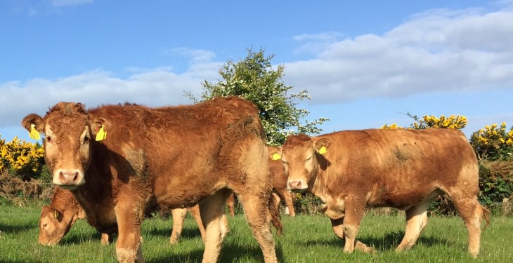 Strong increase in Northern Ireland cattle quotes