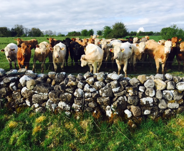 UK prime cattle supplies expected to be tighter over next six months