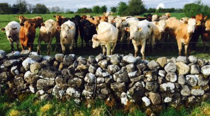 Irish cattle prices fourth highest in Europe – LMC