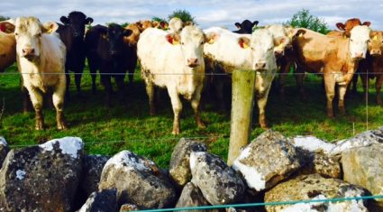 Tight supplies sees cattle trade continue firm