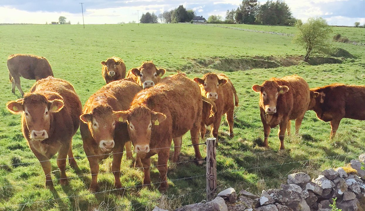 Parasitic infections the number one health problem in cattle – ICBF