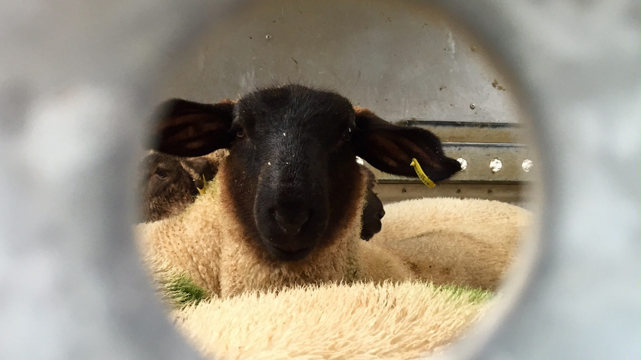 Sheep imports down 50% – impact of labelling rules and exchange rates