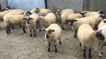 Research investigates the best way to finish bought-in male lambs
