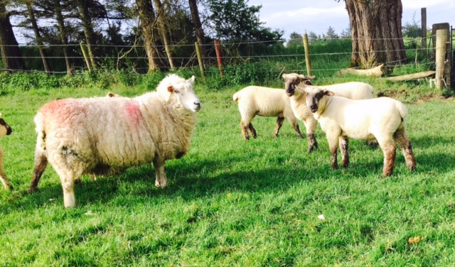 ICSA calls on meat processors to justify 'savage' sheep price drop