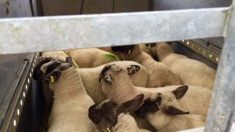 Cuts of 40-50c being imposed on base price for overweight lambs – ICSA