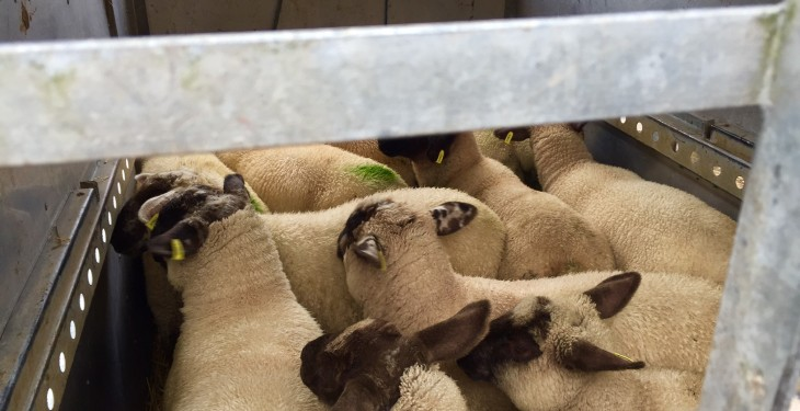 British lamb prices fall to five-year low