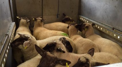 Spring lamb kill up 9% on 2014 levels