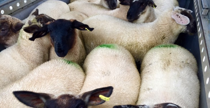 More Northern Irish lambs head south for slaughter