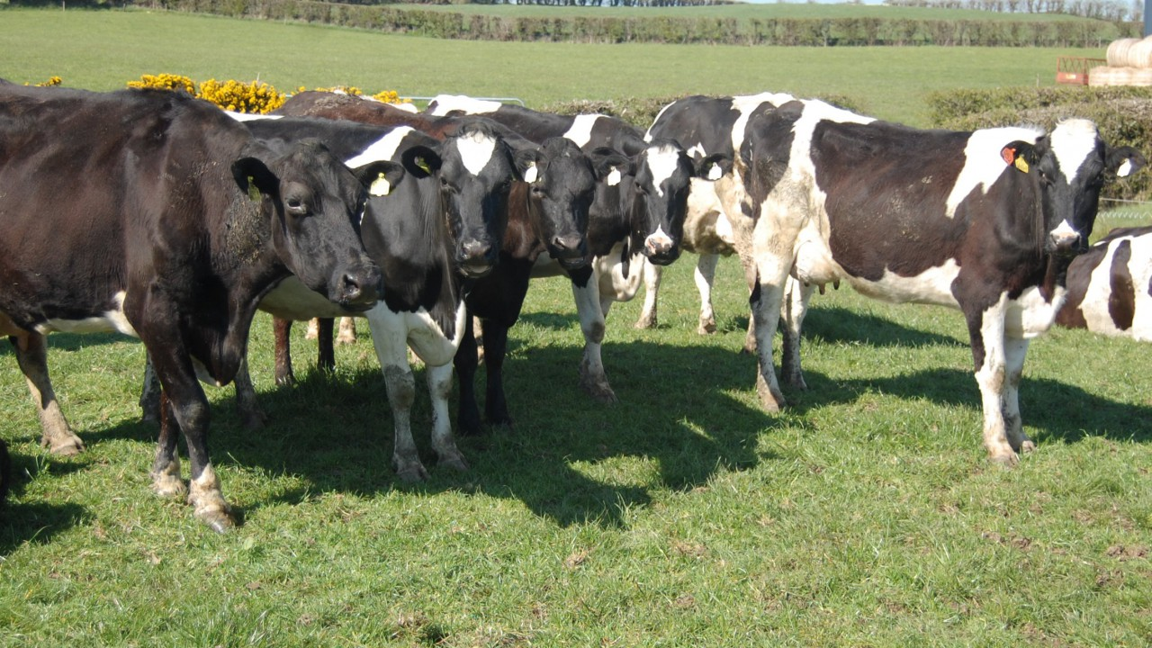 How one dairy farmer milks 90 cows but owns no land