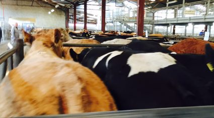 Sterling buyers drive flying trade in Castlerea (tops of €1,150 with the weight)