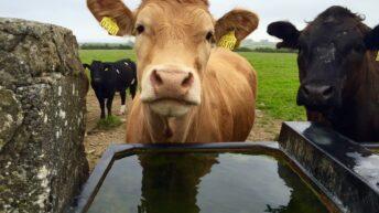 Beef kill falls again (down 36,000 head year to date)