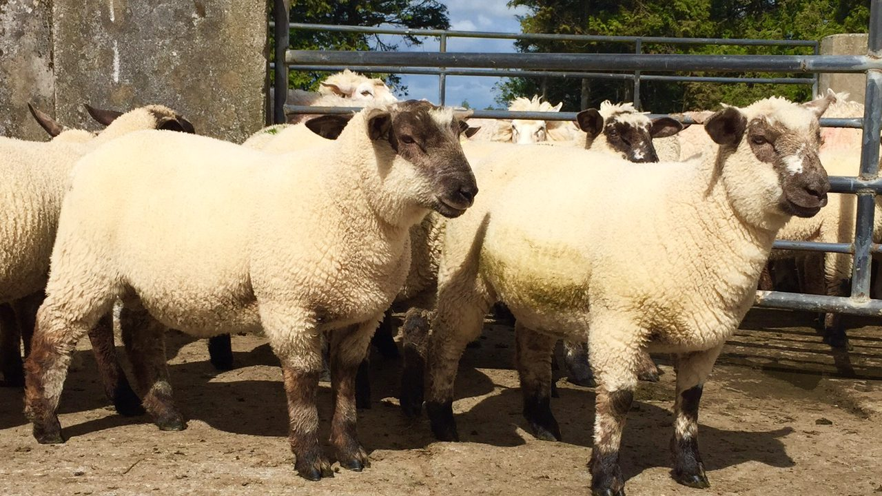 Factory quotes for lambs fall as French demand slips