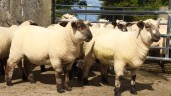 More green shoots of recovery for spring lamb prices