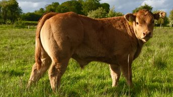 Applied to the beef genomics scheme? Here's what happens next