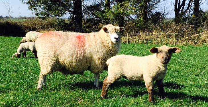 EU sheepmeat imports up 15% from 2014